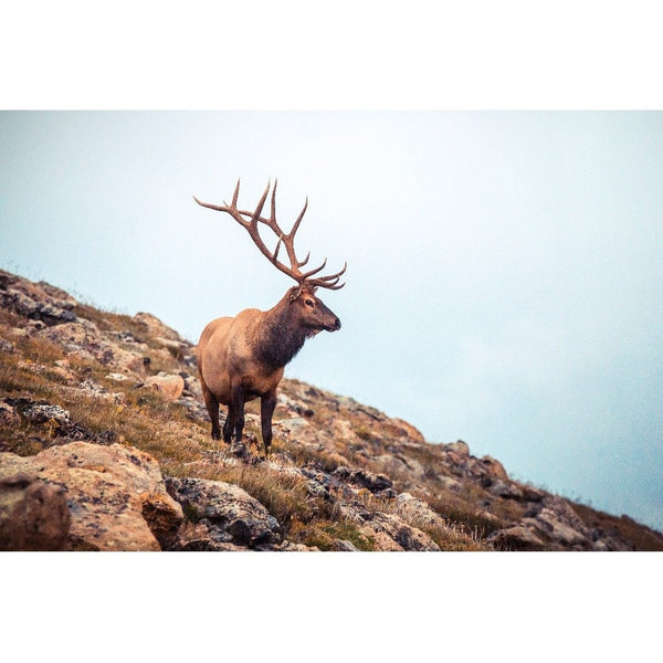 Wise Elk | Metallic Print