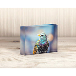 European Starling | Acrylic Block