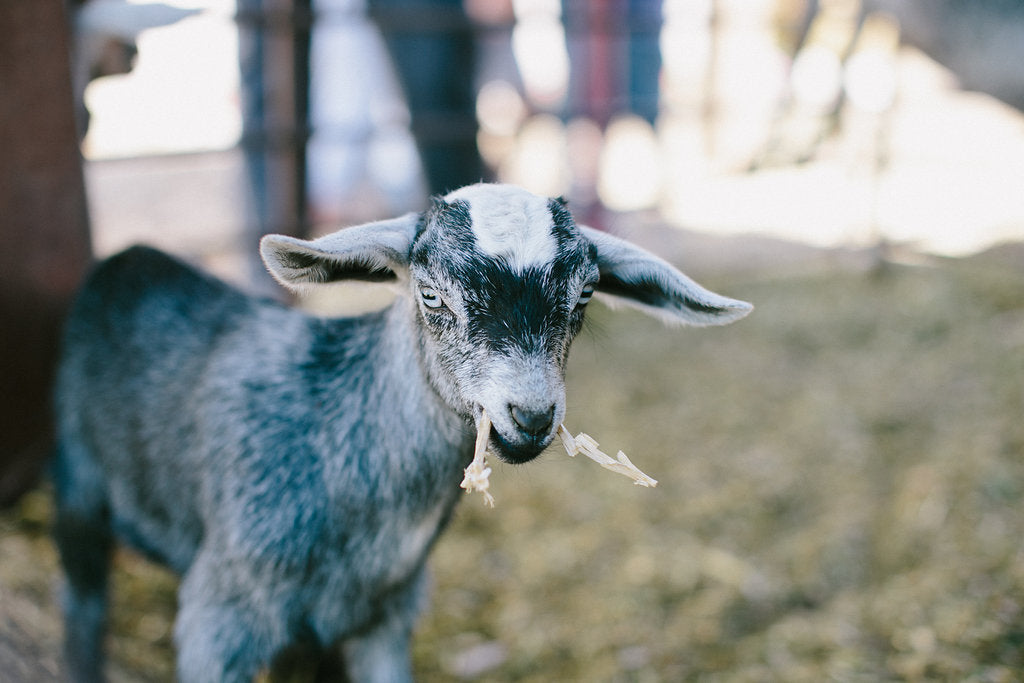 small baby goat at farm