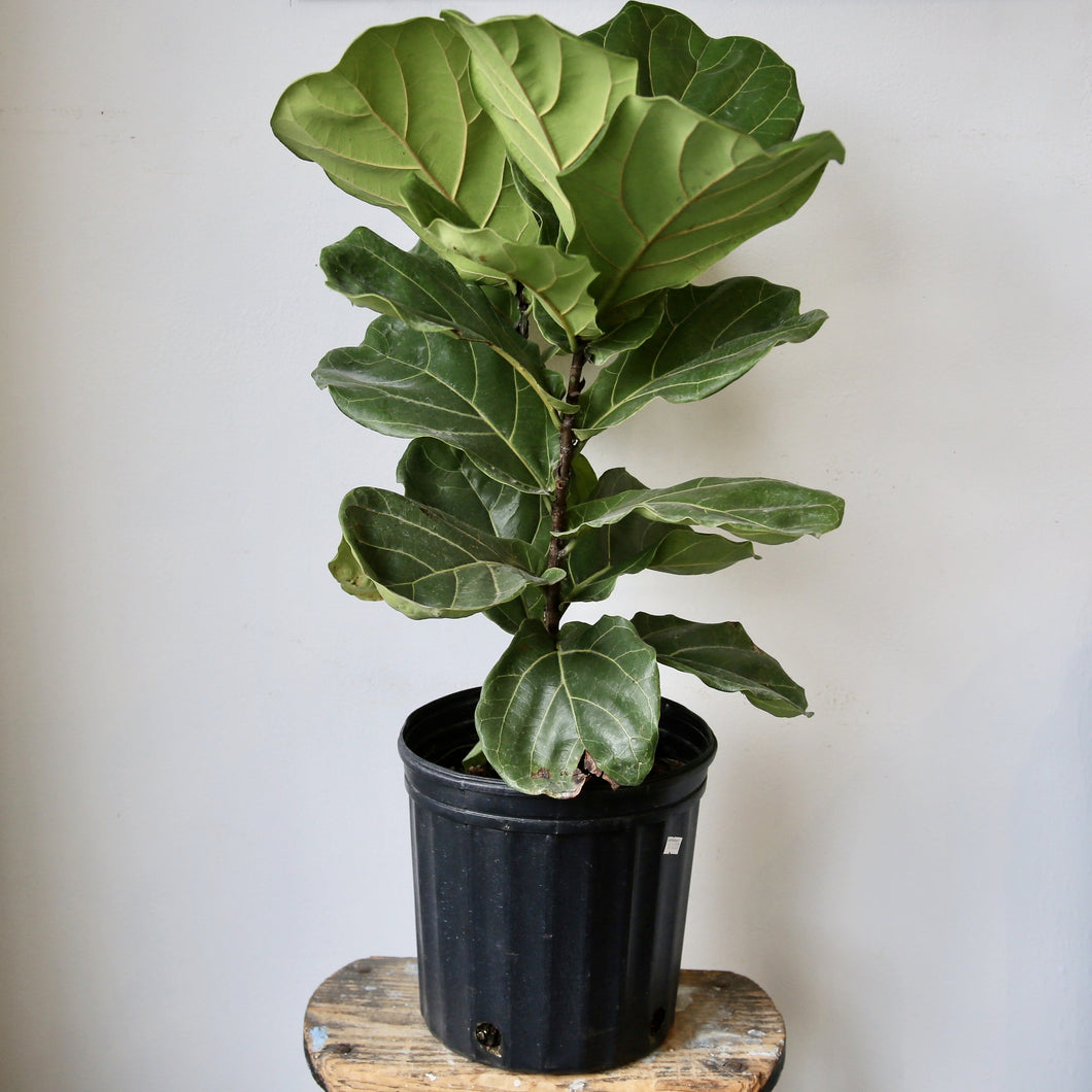 "14"" Pot Size Fiddle Leaf Fig Ficus Lyrata Plant"