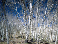 Birches and Blue Sky Botanical Print