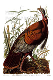 Wild Turkey Gobbler by John James Audubon