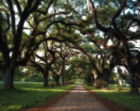 Southern Canopy of Gnarled Trees with Spanish Moss