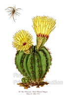 Mr. Otto's Cactus from Curtis Botanical Magazine