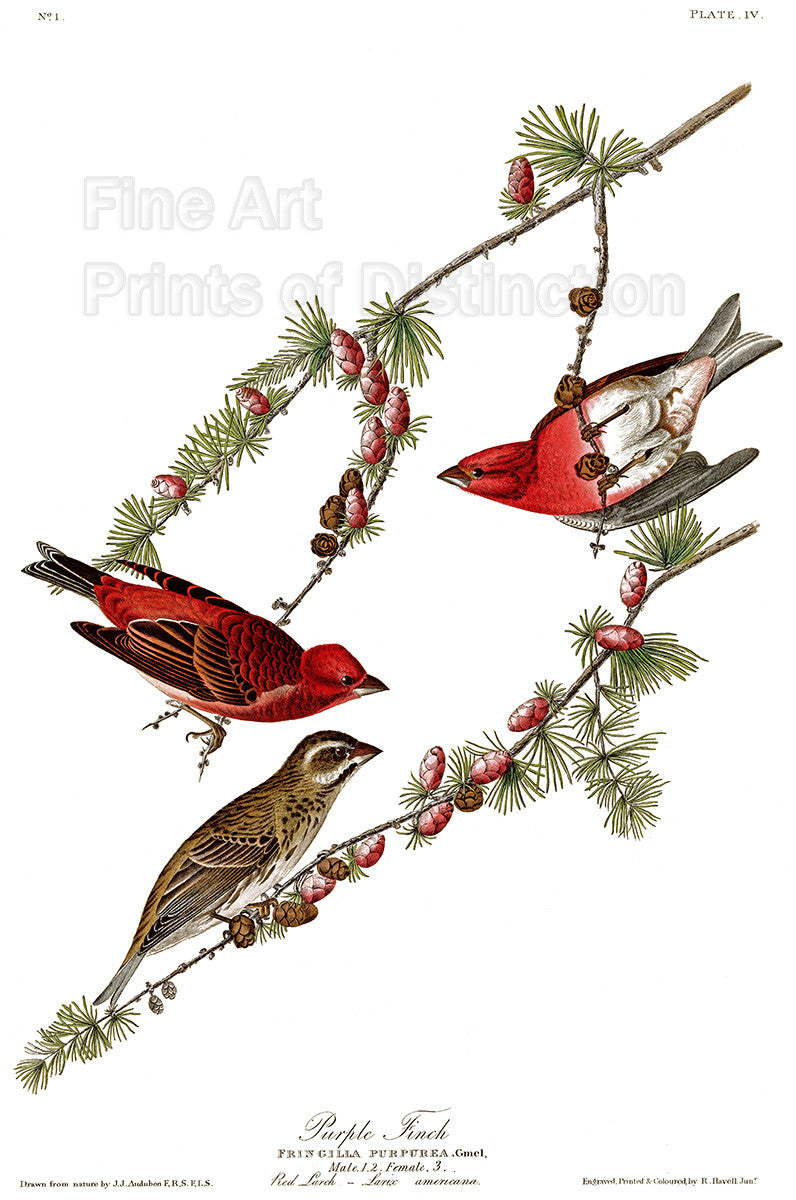 Purple Finch by John James Audubon