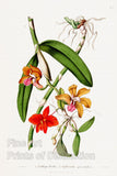Cattleya Bicolor and Sophronitis Grandiflora Orchids from Curtis Botanical Magazine