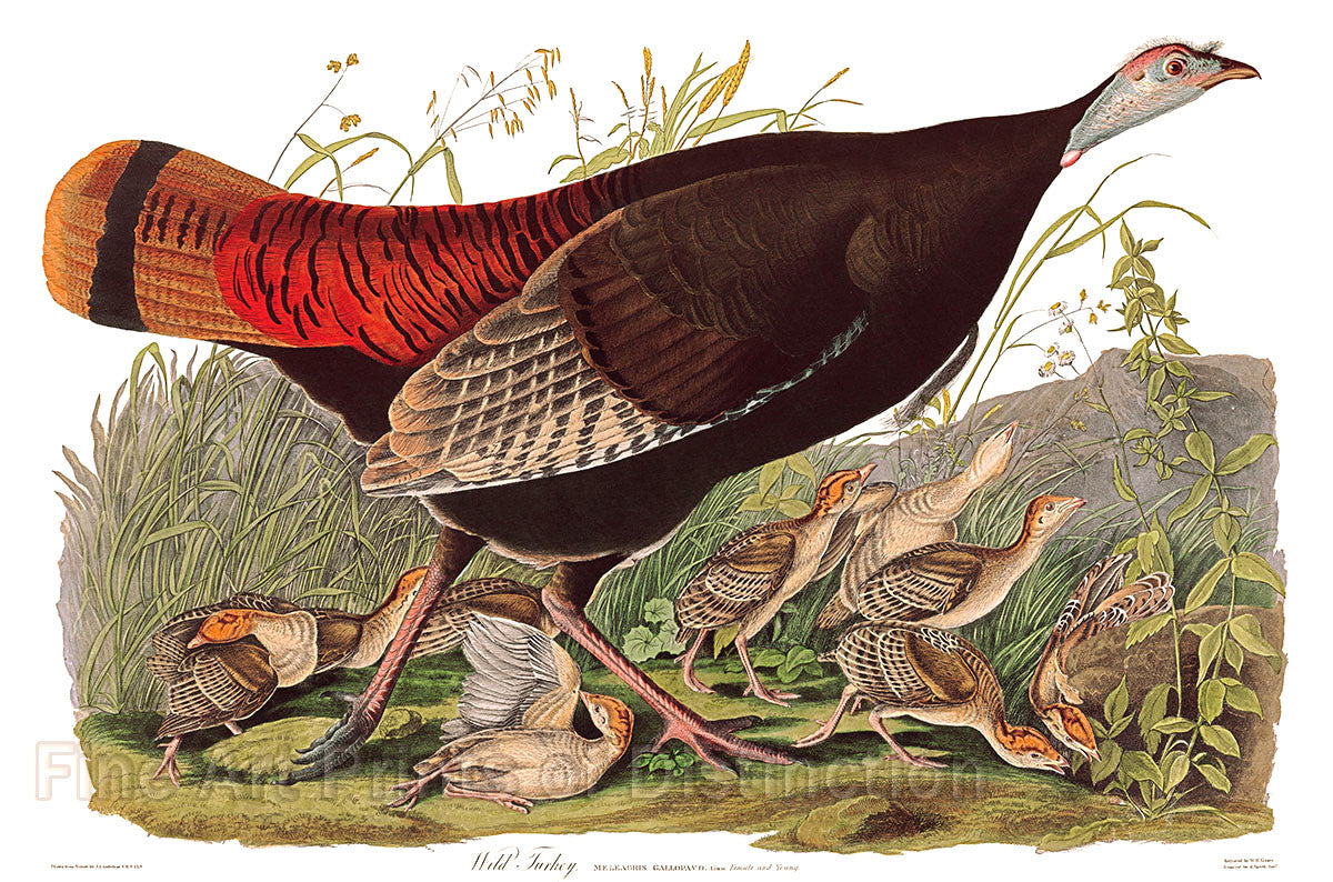 Wild Turkey Hen by John James Audubon