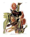 purple grackle or common crow blackbird by John James Audubon
