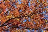 Red Oak Leaves Against Dark Blue Sky
