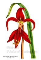 Jacobean Amaryllis from Curtis Botanical Magazine