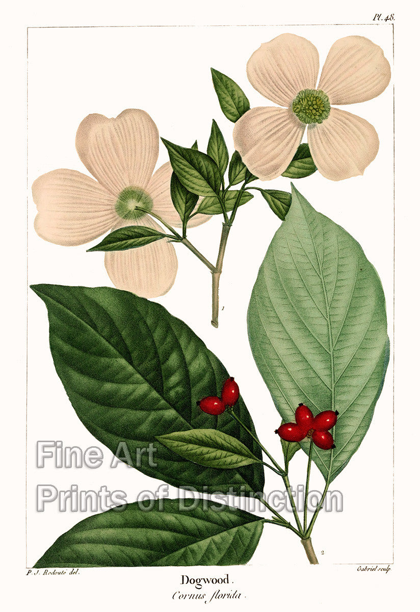 Dogwood by Redoute Art Print