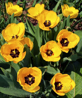Tulips, Eleven Bright Yellow Blooms
