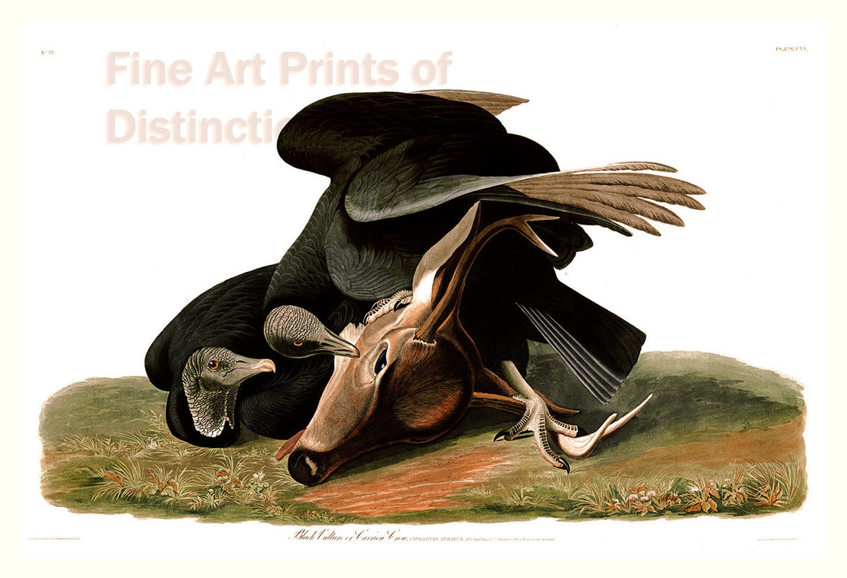 Black Vulture or Carrion Crow by John James Audubon