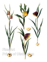 Frittillaria Meleagris by the German artist Johannes Simon Holtzbecher.