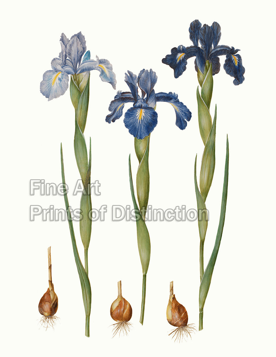 Iris Xiphiodes by the German artist Johannes Simon Holtzbecher