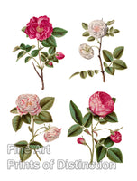 Rosa Gallica by the German artist Johannes Simon Holtzbecher