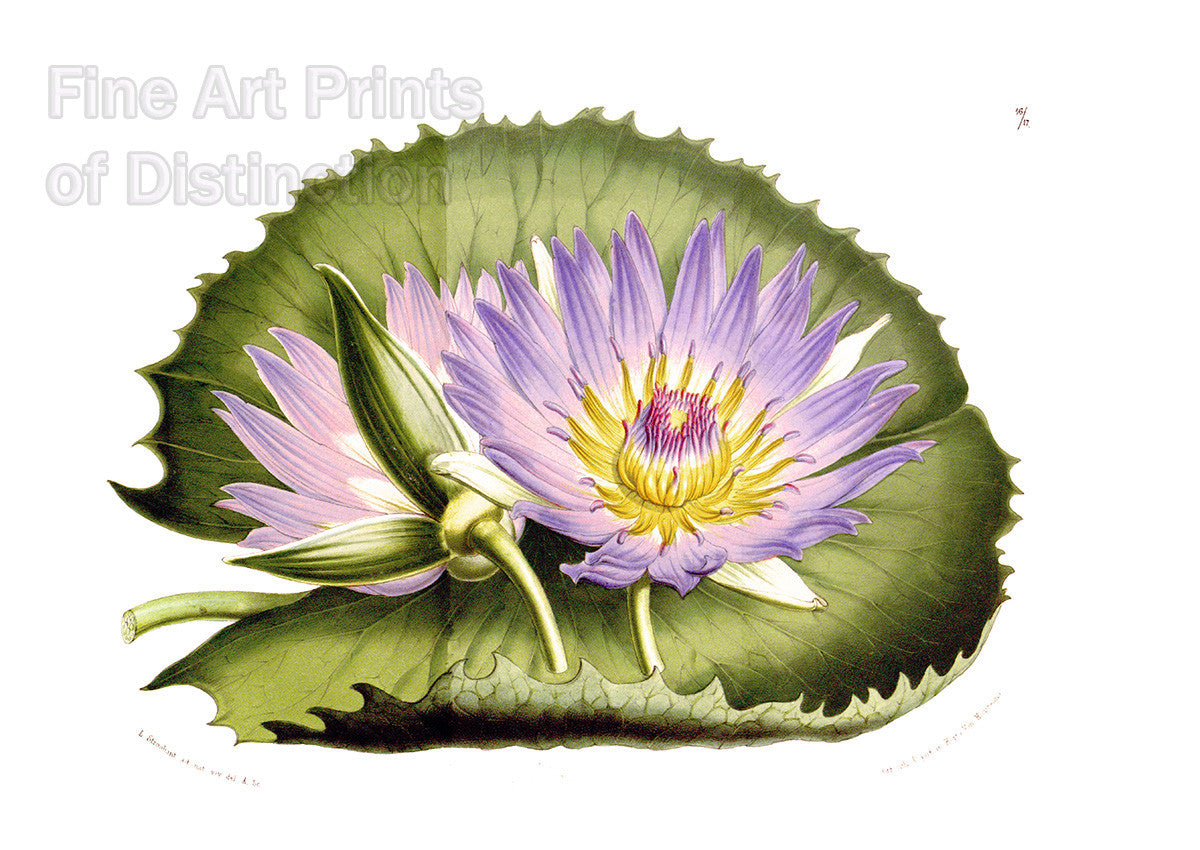 Cape Blue Water Lily by Louis van Houtte Art Print