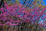 Red Bud and Budding Trees Art Print