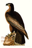 Bird of Washington by John James Audubon