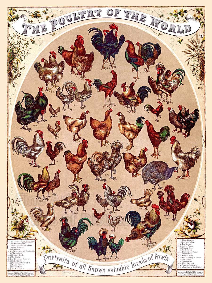 Poultry of the World Fine Art Print