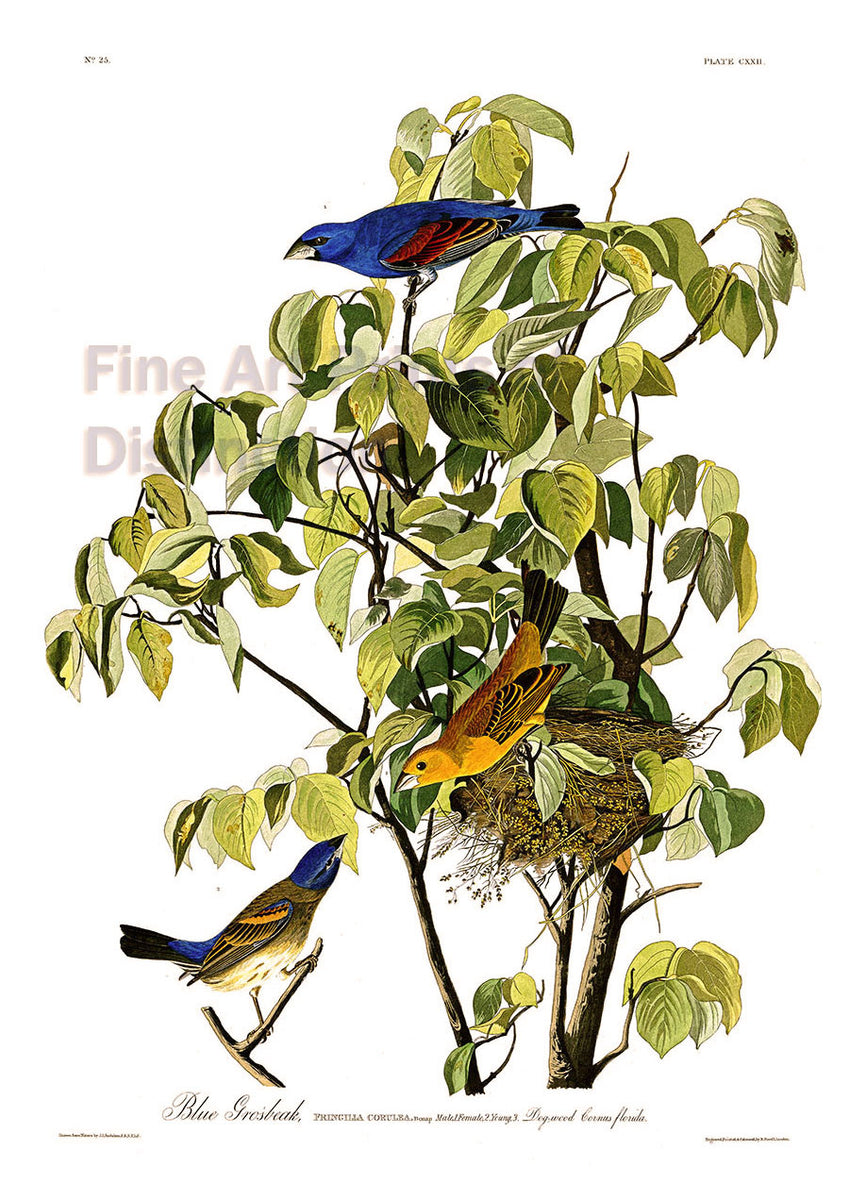 Blue Grosbeak by John James Audubon