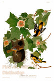 The Baltimore Oriole by John James Audubon