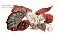 Begonia Tenera Botanical Print from Curtis Botanical Magazine