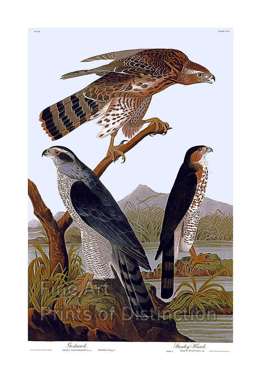 Goshawk and Stanley Hawk by John James Audubon