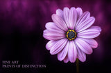 Daisy with a Purple Bloom fine art botanical print
