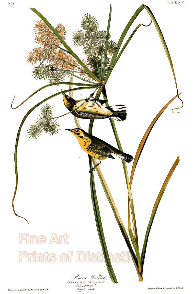 Prairie Warbler by John James Audubon
