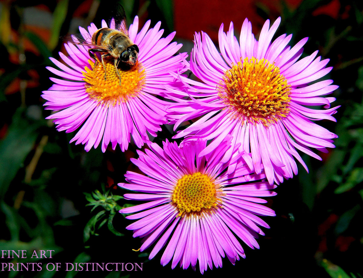 Asters with Small Purple Blooms and Bumblebee Botanical Art Print
