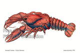 Serrated Lobster - Cancer Serratus by James Sowerby