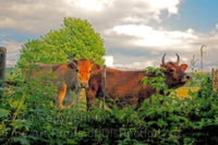 Guernsey Milk Cows in the Fence Row Fine Art Print