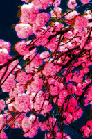 Double Flowering Cherry Tree Blossoms Art Print