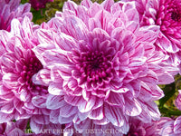 Dahlia with Dinner Plate Size Purple Bloom Botanical Fine Art Print