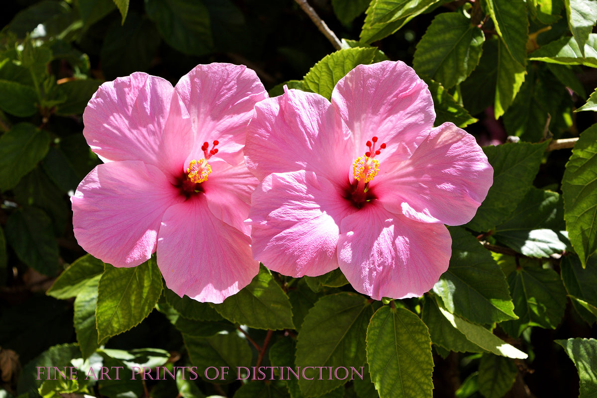 Rose of Sharon a Pair of Pink Blooms fine art Botanical print