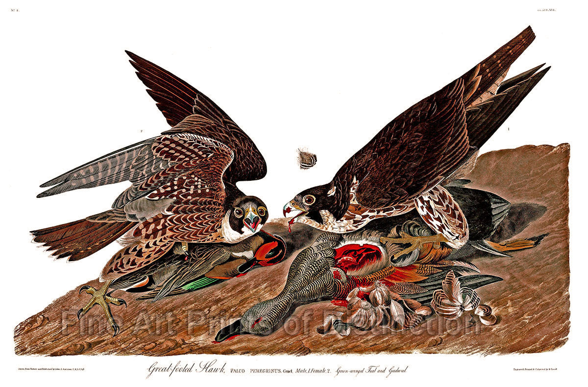 Great Footed Hawk by John James Audubon