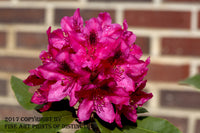 Rhododendron Red Bloom Against a Brick Wall Art Print