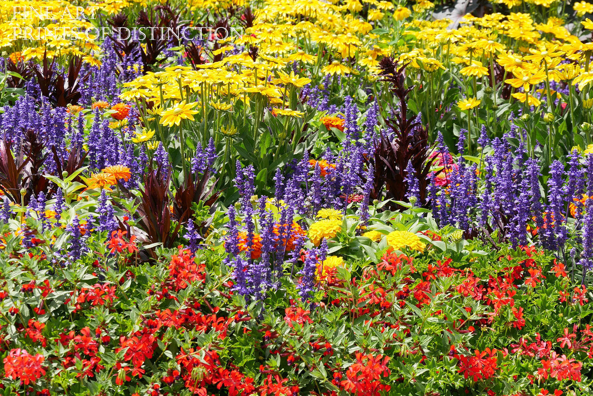 Red, Purple and Yellow Flower Bed Fine Art Botanical Landscape