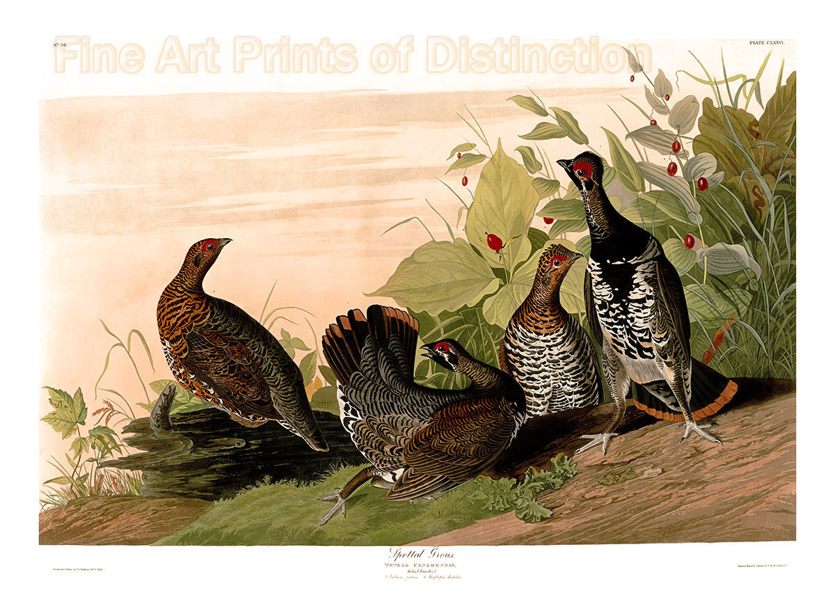 Canadian or Spotted Grouse by John James Audubon