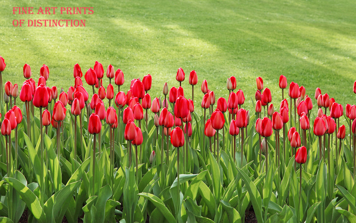 Tulips in Red by a Green Yard Premium Botanical Print