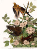 Carolina Turtle Dove Fine Art Bird Print by John James Audubon