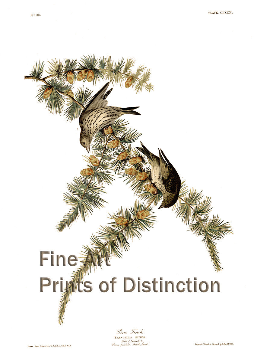 Pine Finch Art Print by John James Audubon