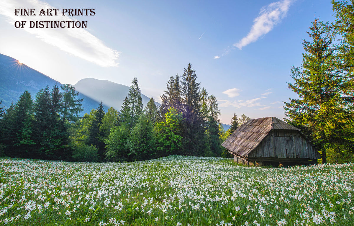 Landscape with Old Shed and White Narcissus Flowers Premium Print