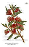 Harsh Leaved Metrosideros Fine Art Botanical Print