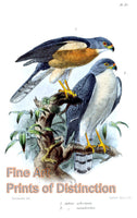 Accipiter Soloensis or Chinese Goshawk by John Gerrard Keulemans