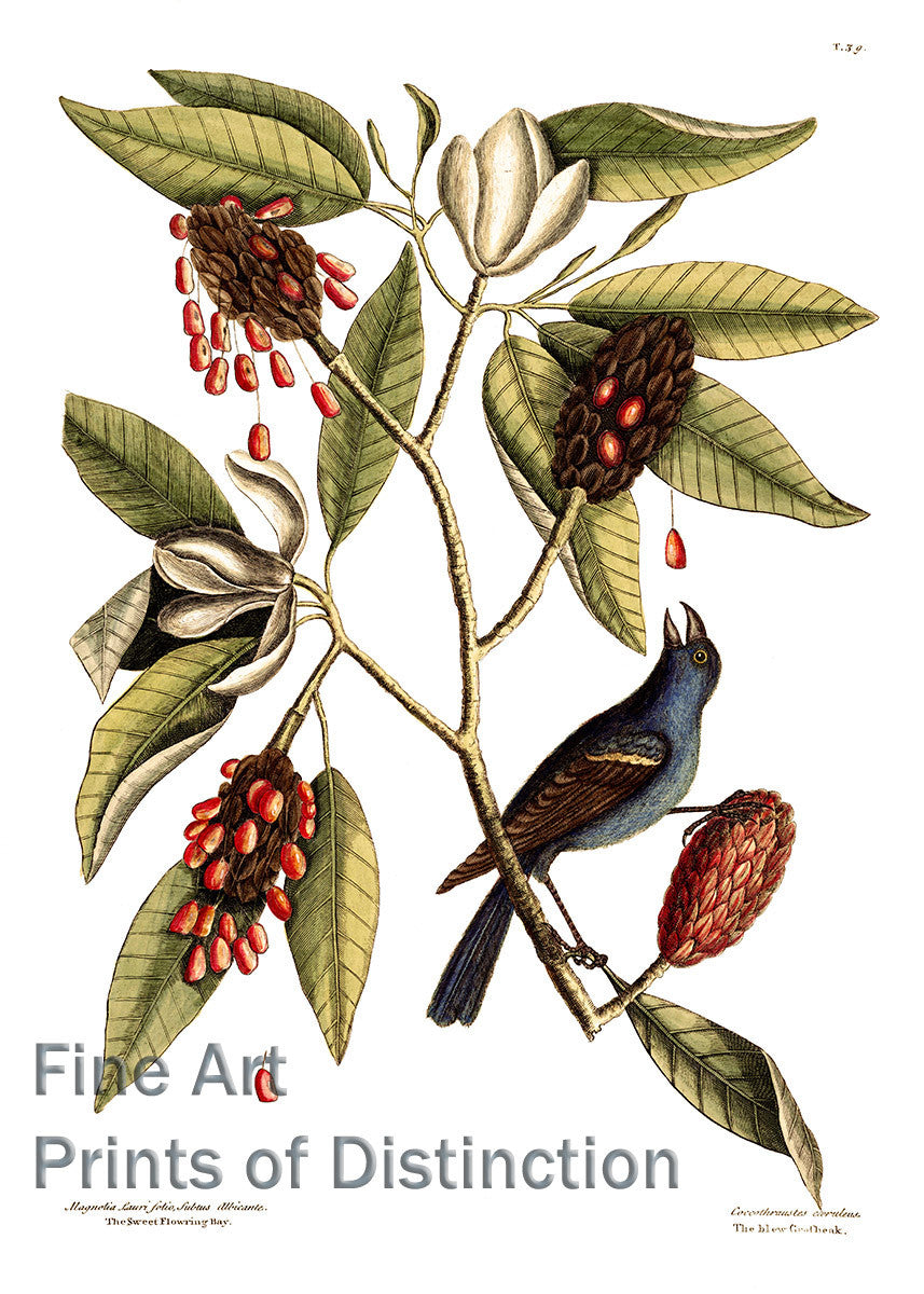 Magnolia and Blue Grosbeak by Mark Catesby