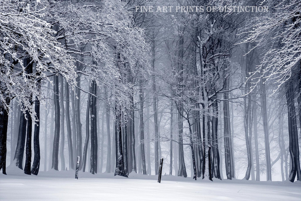 Winter Landscape with Tall, Slender Snow Covered Trees Premium Print