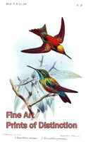 Brilliant Emerald and Gould's Emerald Hummingbirds by John Gerrard Keulemans