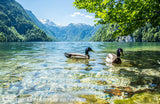 Ducks Swimming on a Clear Mountain Lake Premium Art Print